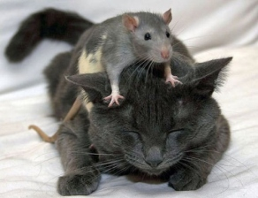 [image: a mouse sits on a cat's head]